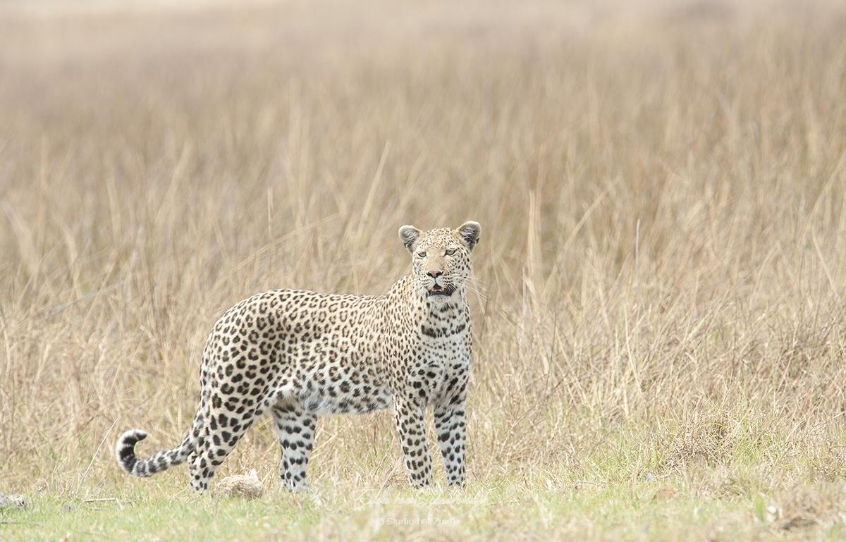 Luipaard in de Okanvangadelta